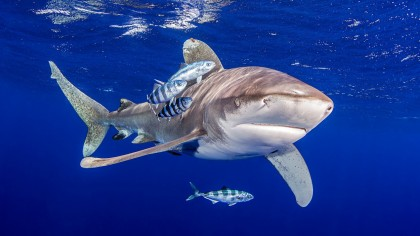 Care este legătură între rechini şi vaccinul împotriva coronavirusului