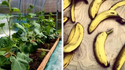 Utilizările cojilor de banană. 7 idei care te vor face să nu le mai arunci niciodată